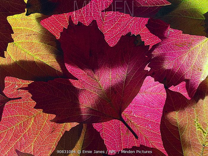 Autumn leaves of Guelder rose (Viburnum opulus).
