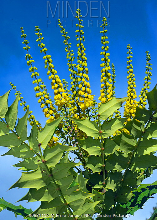 Mahonia japonica flowering in a garden in winter, UK.