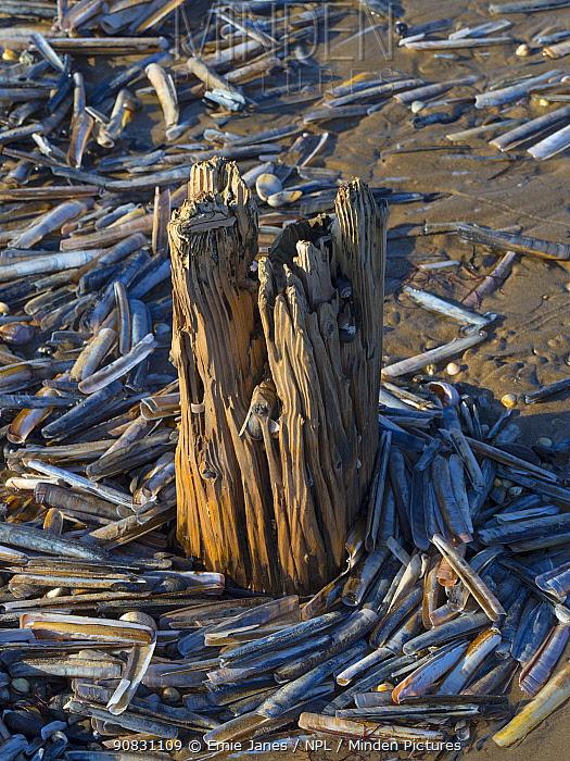 Empty Razor clam (Ensis siliqua) shells washed up around driftwood, Titchwell beach, Norfolk, UK. October.