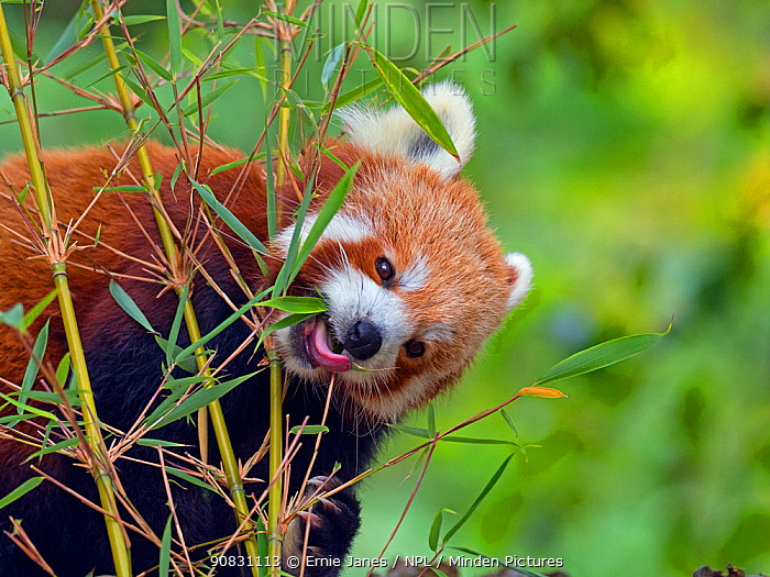 Red panda (Ailurus fulgens) eating bamboo leaves. Captive.