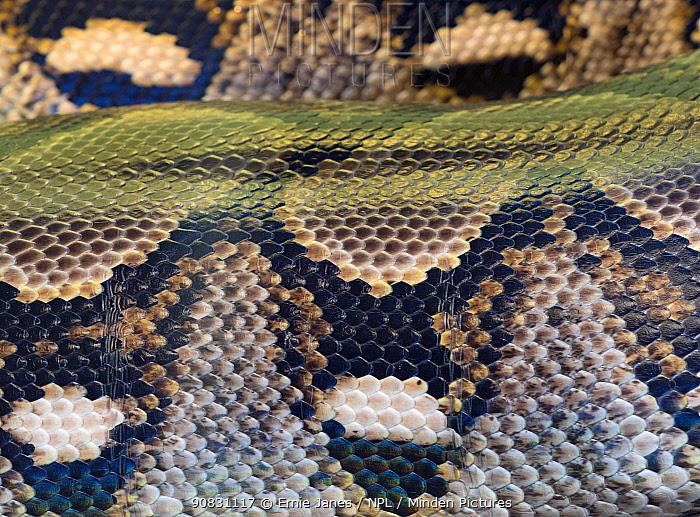 Close up of Reticulated python (Python reticulatus) scales. Captive.