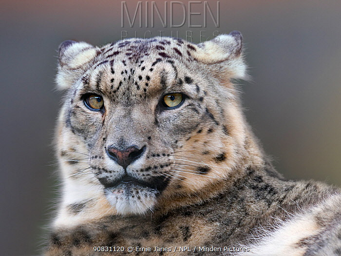 Snow leopard (Panthera uncia) with ears back. Captive.