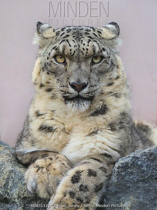 Snow leopard (Panthera uncia) portrait with ears back. Captive.