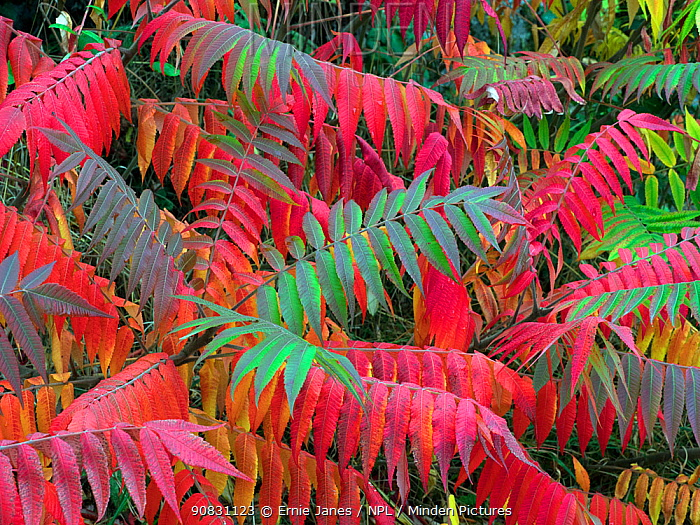 Staghorn sumac (Rhus typhina) in autumn. October.