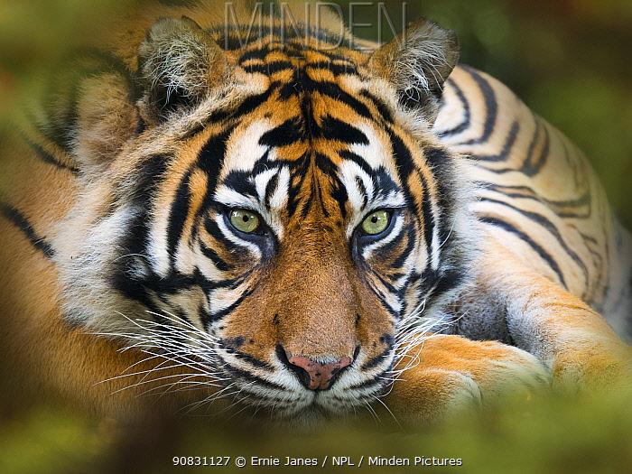 Sumatran tiger (Panthera tigris sondaica). Captive, with digitally added leaf pattern.