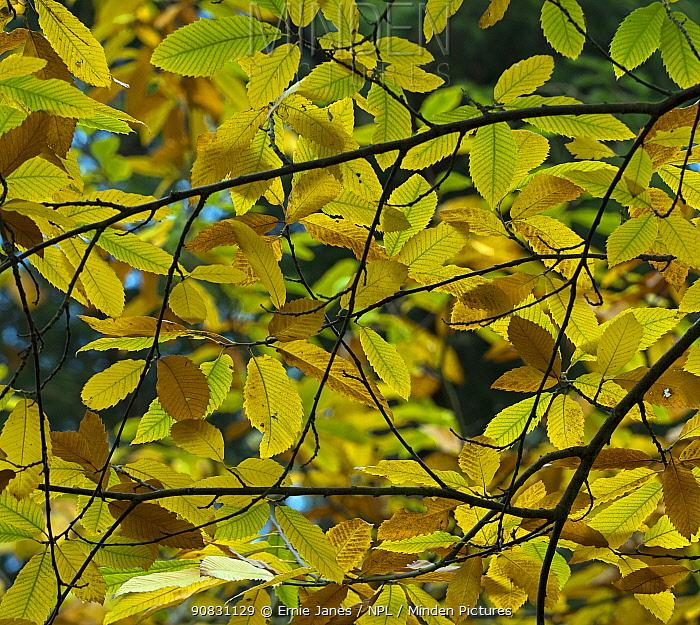 Sweet Chestnut (Castanea sativa) leaves in autumn. November.