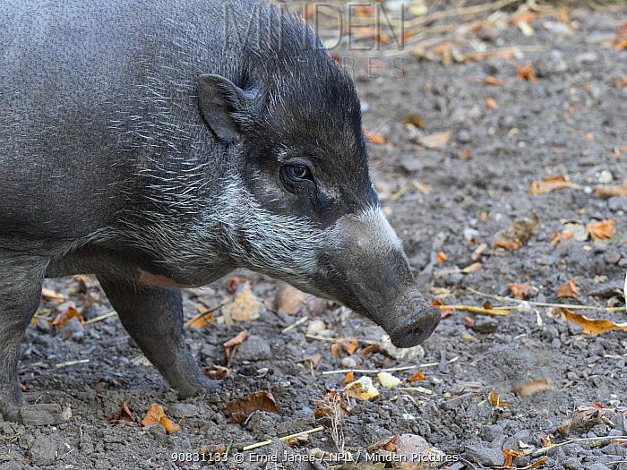 Visayan warty pig (Sus cebifrons) portrait. Captive.
