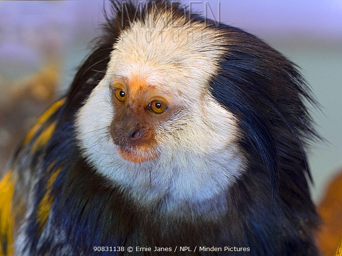 White-headed marmoset or Geoffroy's marmoset (Callithrix geoffroyi). Captive.