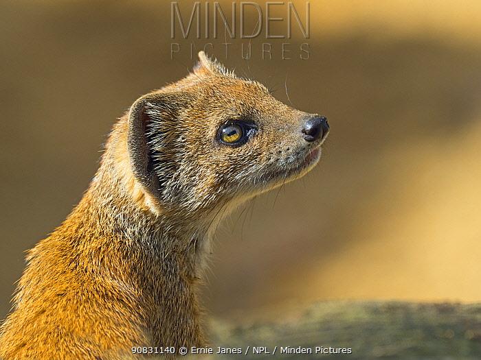 Yellow mongoose (Cynictis penicillata) looking up. Captive.