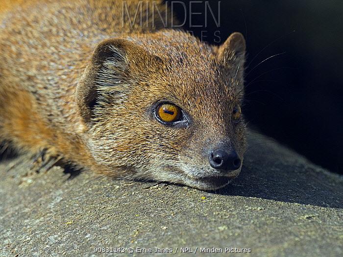 Yellow mongoose (Cynictis penicillata) sunbathing. Captive.