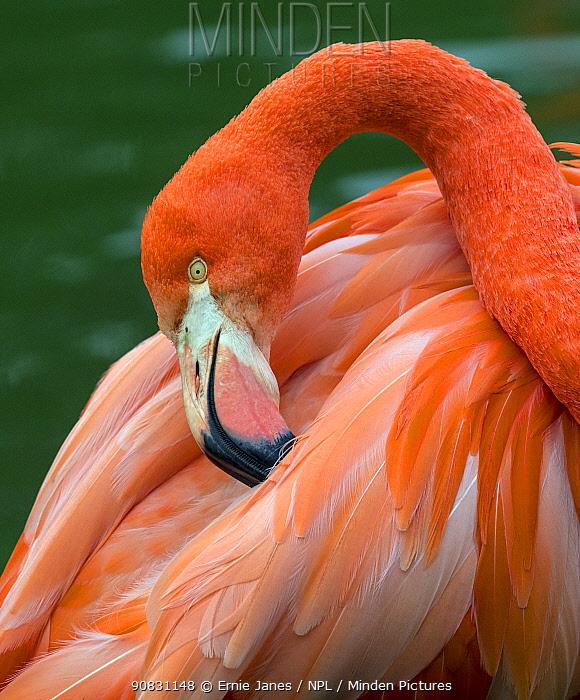 American flamingo (Phoenicopterus ruber) preening feathers. Captive.