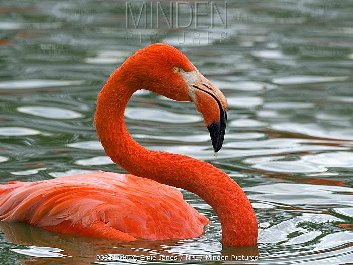 American flamingo (Phoenicopterus ruber) bathing. Captive.