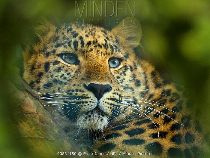 Close up of an Amur leopard (Panthera pardus orientalis) portrait. Captive, with digitally added leaf pattern.