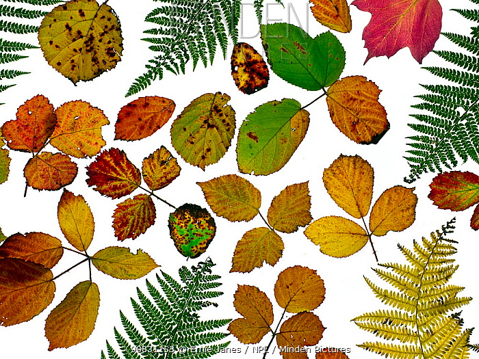 Bramble leaves (Rubus fruticosus) and bracken fronds changing colour in autumn, against a white background