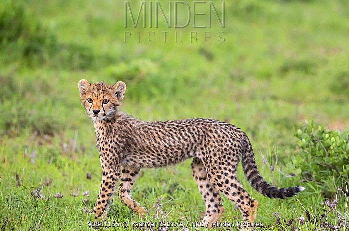 African cheetah (Acinonyx jubatus ) cub.Masai Mara National Reserve, Kenya.