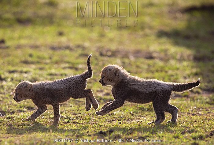 African cheetah (Acinonyx jubatus), two cubs playing. Masai Mara National Reserve, Kenya.