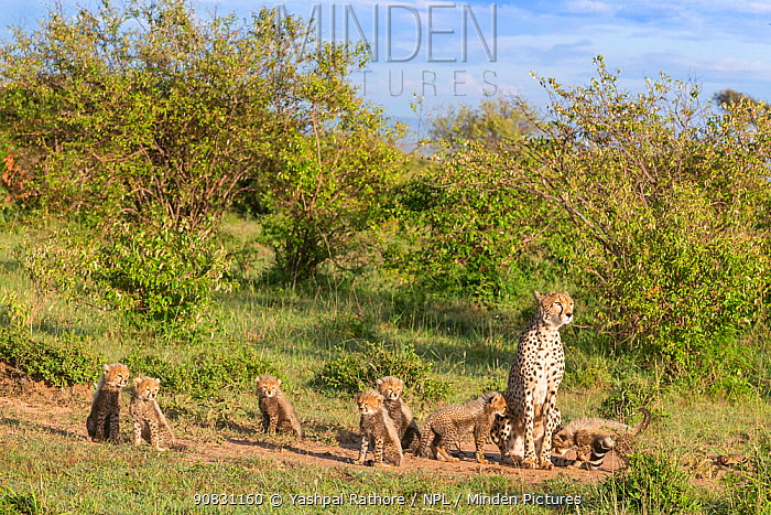Cheetah (Acinonyx jubatus) female and cubs. Brood of seven cubs, a record for the area. Masai Mara National Reserve, Kenya.