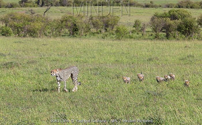 Cheetah (Acinonyx jubatus) female and cubs walking through savannah to change location in order to avoid predators. Brood of seven cubs, a record for the area. Masai Mara National Reserve, Kenya.