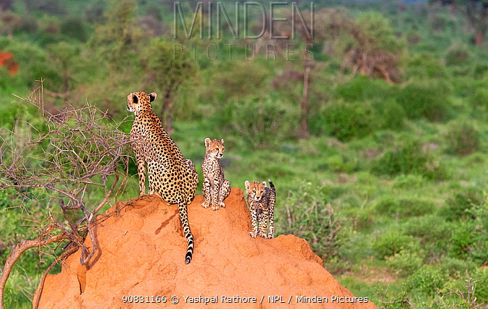 African cheetah (Acinonyx jubatus) female and two cubs on mound, looking in opposite directions for prey. Masai Mara National Reserve, Kenya.