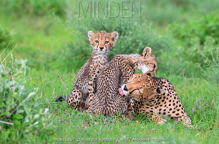 Cheetah (Acinonyx jubatus) female and two cubs, mother and cub grooming each other. Masai Mara National Reserve, Kenya.