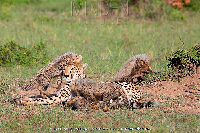 Cheetah (Acinonyx jubatus) female and cubs, five cubs suckling and playing around resting mother. Brood of seven cubs, a record for the area. Masai Mara National Reserve, Kenya.