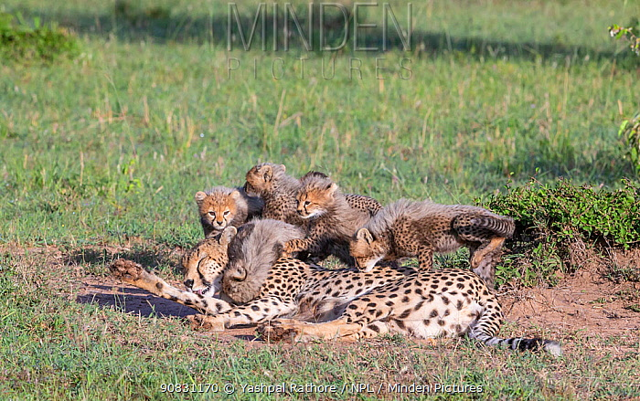 Cheetah (Acinonyx jubatus) female licking her leg, cubs climbing on top of her. Brood of seven cubs, a record for the area. Masai Mara National Reserve, Kenya.