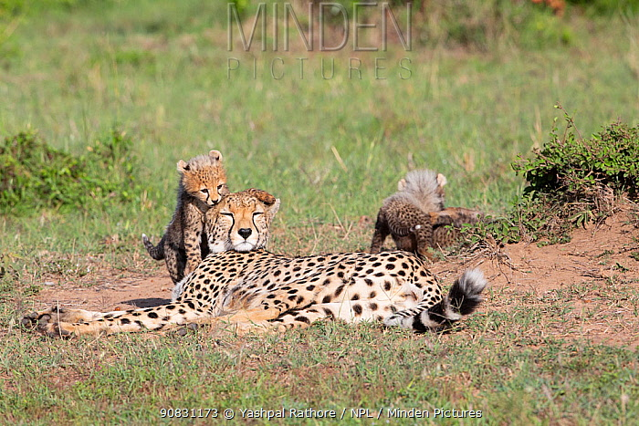 Cheetah (Acinonyx jubatus) cubs playing around resting mother. Brood of seven cubs, a record for the area. Masai Mara National Reserve, Kenya.