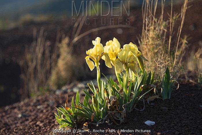 Iris chamaeiris flowers, Salagou, Languedoc, France. March 2019.