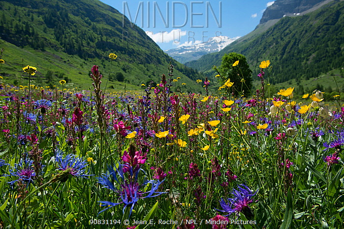 Sub-alpine wildflowers in a meadow, Champsaur, Ecrins National Park, France. June 2018.