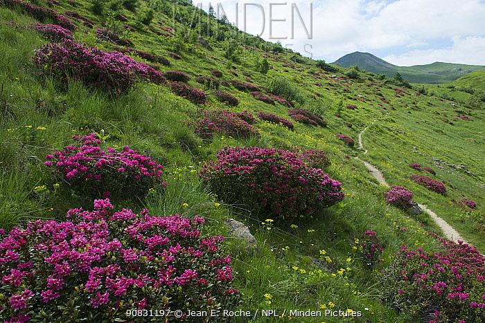 Rhododendron (Rhododendron ferrugineum) flowering on hillside, Champsaur, Ecrins National Park, France, June 2018.