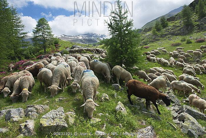 Flock of sheep grazing, Prapic, le Champsaur, Ecrins National Park, France. June.