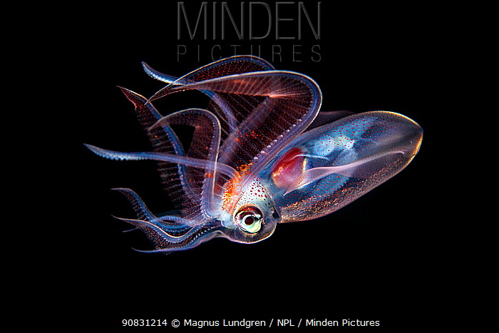 Diamond squid (Thysanoteuthis rhombus) photographed at night, Balayan Bay, Luzon, Philippines. Minimum fees apply.