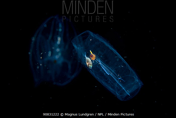 Young fish inside a drifting salp, photographed at night, Balayan Bay, Luzon, Philippines. Minimum fees apply.
