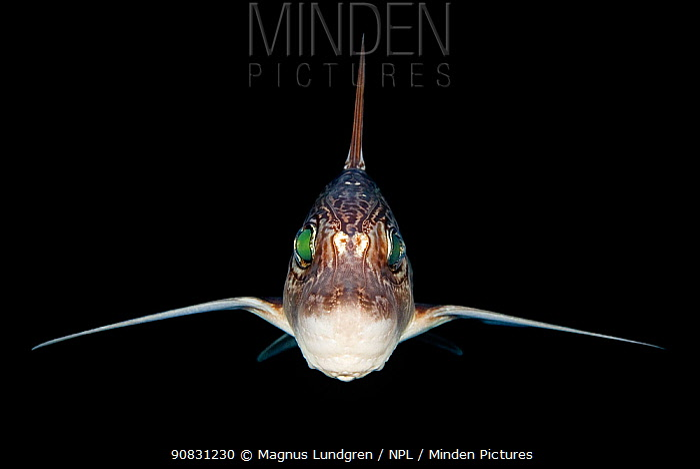 Rabbitfish / Ratfish / Ghost shark (Chimaera monstrosa) photographed at night, Trondheim Fjord, Norway. Minimum fees apply.