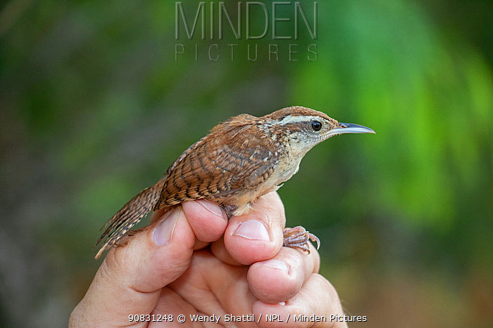 Carolina wren (Thryothorus ludovicianus) in the hand following mist netting and ringing by Texas Parks and Wildlife Department. Southmost Preserve, The Nature Conservancy reserve, Brownsville, Texas, USA. July 2019.