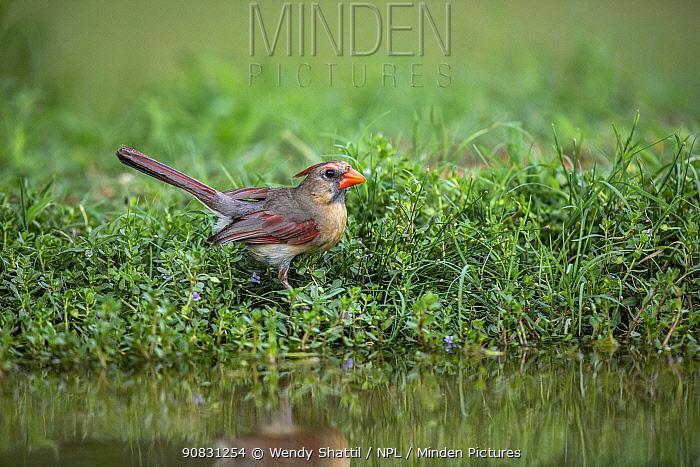 Northern cardinal (Cardinalis cardinalis) female at edge of pond, reflected in water. Lower RIo Grande Valley, Linn, Hidalgo County, Texas, USA. July.