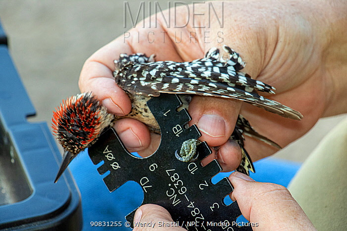 Ladder-backed woodpecker (Dryobates scalaris) in the hand, biologist measuring size of leg during bird ringing. Southmost Preserve, The Nature Conservancy reserve, Brownsville, Texas, USA. July 2019.