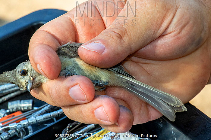 Black-crested titmouse (Baeolophus atricristatus) in the hand following capture in mist net and bird ringing. Southmost Preserve, The Nature Conservancy reserve, Brownsville, Texas, USA. July 2019.