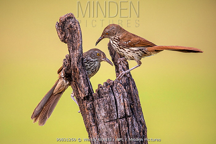 Long-billed thrasher (Toxostoma longirostre) pair perched on wooden post. Lower Rio Grande Valley, Linn, Hidalgo County, Texas, USA. July.