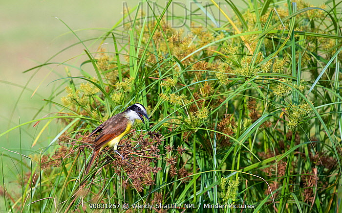 Great kiskadee (Pitangus sulphuratus) feeding amongst Sedges (Cyperaceae). Lower Rio Grande Valley, Linn, Hidalgo County, Texas, USA. July.