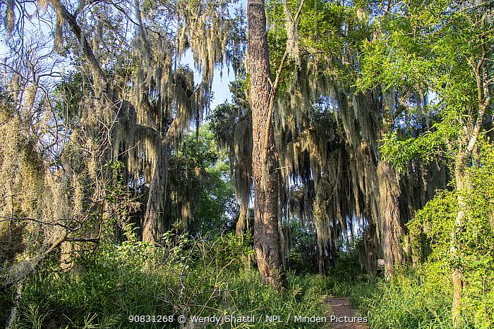 Forest with Spanish moss (Tillandsia usneoides) growing in trees. Santa Ana National Wildlife Refuge, near Alamo, Hidalgo County, Texas, USA. July.