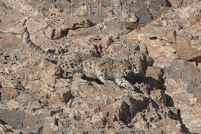 RF-Snow leopard (Uncia uncia) running down rocky slope during mating season. Altai Mountains, West Mongolia. February. (This image may be licensed either as rights managed or royalty free)