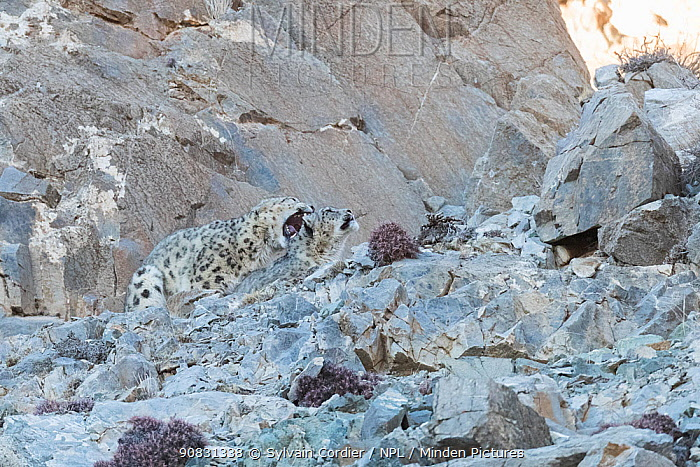 Snow leopard (Uncia uncia) pair mating amongst rocks, male biting female's neck. Altai Mountains, West Mongolia. February. Sequence 1/5.