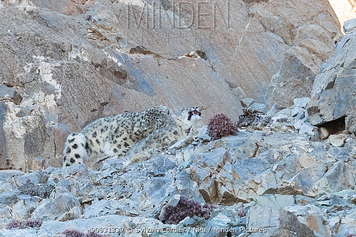 Snow leopard (Uncia uncia) pair mating amongst rocks, male biting female's neck. Altai Mountains, West Mongolia. February. Sequence 2/5.