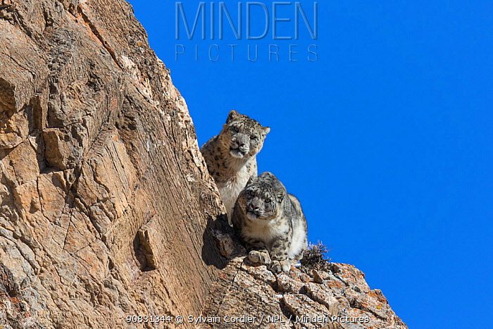 Snow leopard (Uncia uncia) pair sitting on ledge of rockface. Altai Mountains, West Mongolia. February.