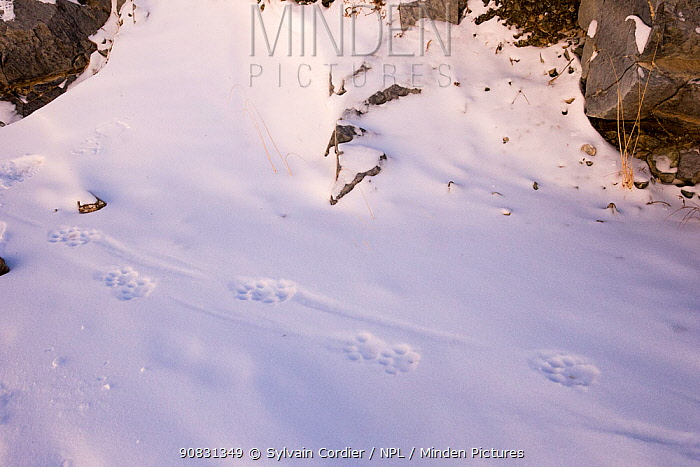 Snow leopard (Uncia uncia) footprints in the snow. Altai Mountains, West Mongolia. February.