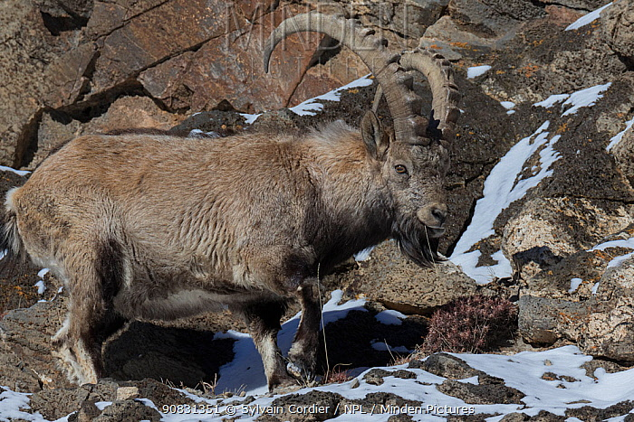 Siberian ibex (Capra sibirica) male on rocks in Altai Mountains, West Mongolia. February.