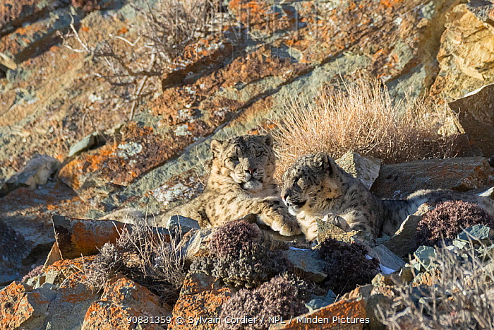 Snow leopard (Uncia uncia) pair resting in sunshine amongst rocks. Altai Mountains, West Mongolia. February.