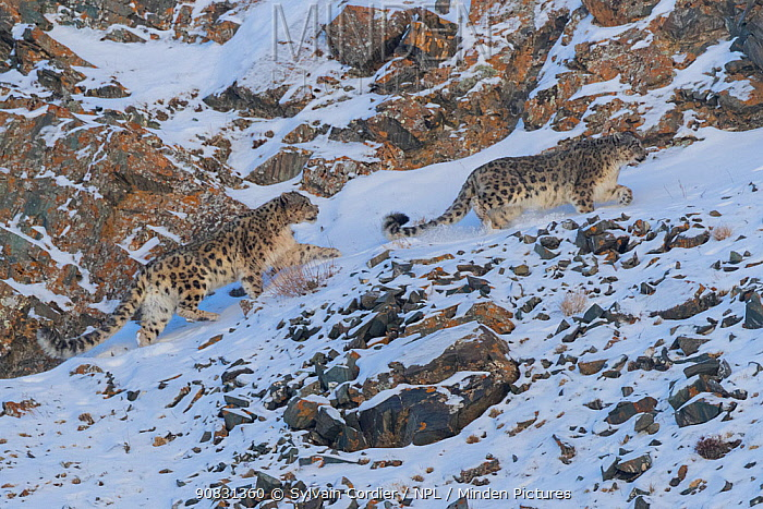 RF-Snow leopard (Uncia uncia) pair walking on snow covered rocky slope in Altai Mountains. West Mongolia. February. (This image may be licensed either as rights managed or royalty free)