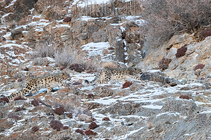 Snow leopard (Uncia uncia) pair walking across rocks in Altai Mountains. West Mongolia. February.